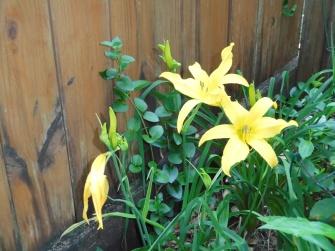 Daylily yellow 2